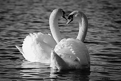 Roath Park Swans